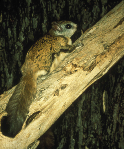 flying_squirrel_250x300