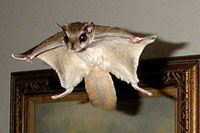 Flying squirrel with arms spread wide