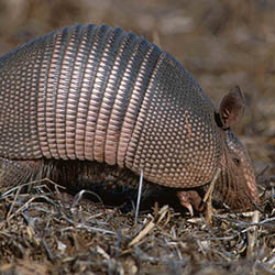 armadillo outside