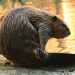 beaver by the water
