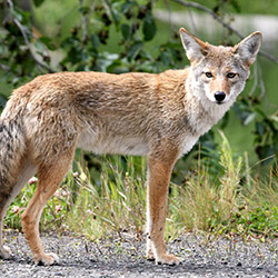 Coyote standing on gravel