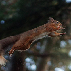 flying squirrel jumping