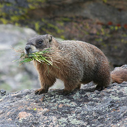 marmot with grass in mouth