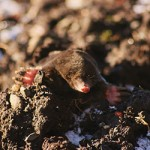 mole in the ground