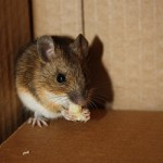 mouse in corner eating