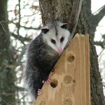 possum perched
