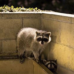 Raccoon Control