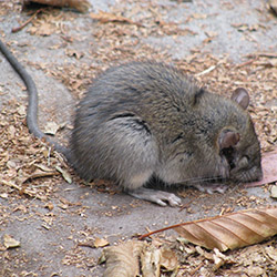 Cotton Rat Control
