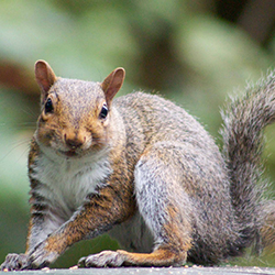 Picture of a brown squirrel