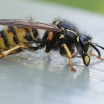wasp on table