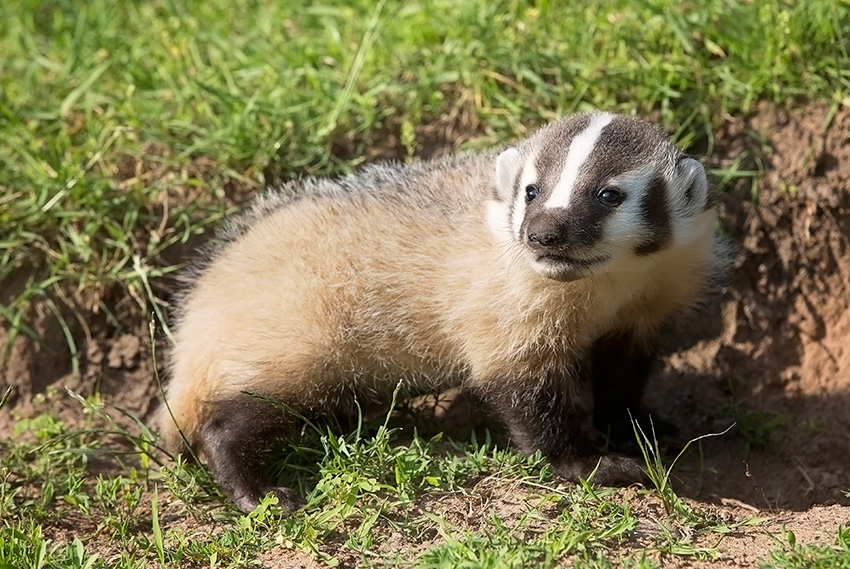 American badger for identification