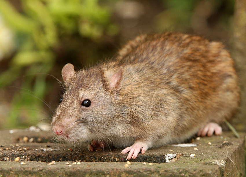 Brown Rat Identification