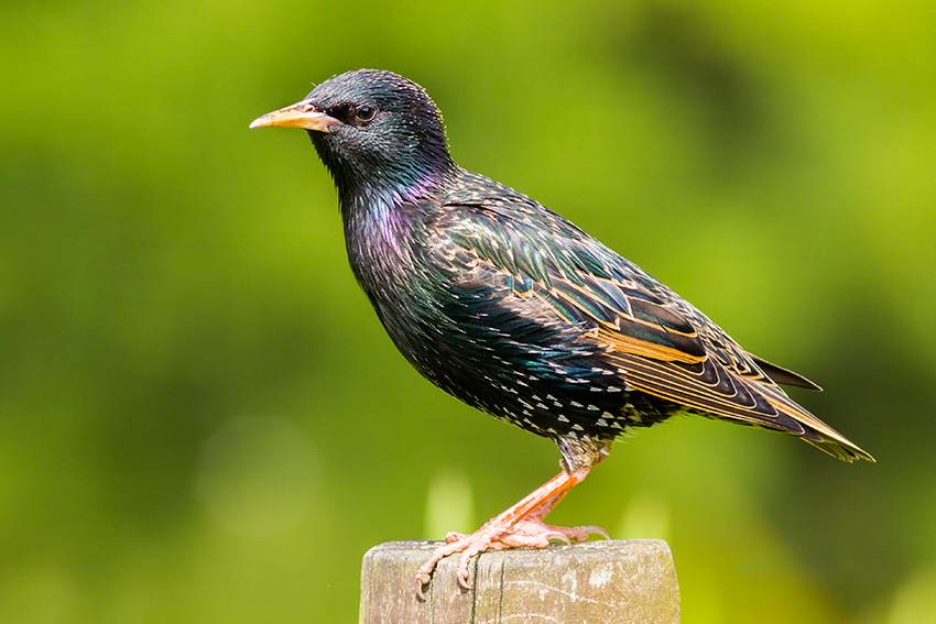 Starling Identification