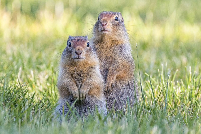 Ground Squirrel Identification