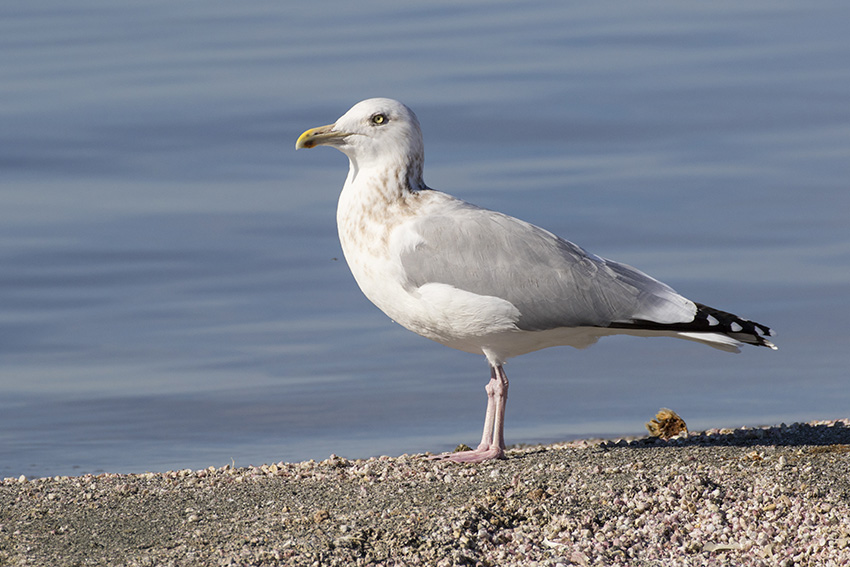 Gull Identification