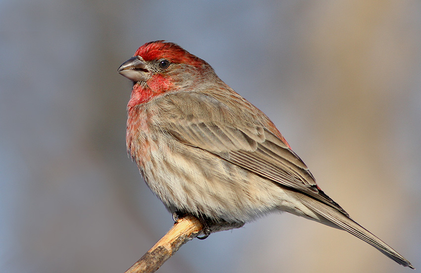 House Finch Identification