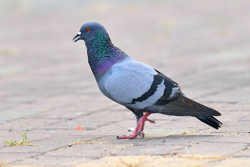 Pigeon Identification