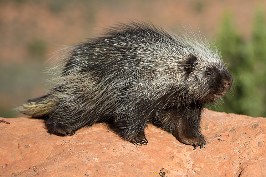 Porcupine Identification