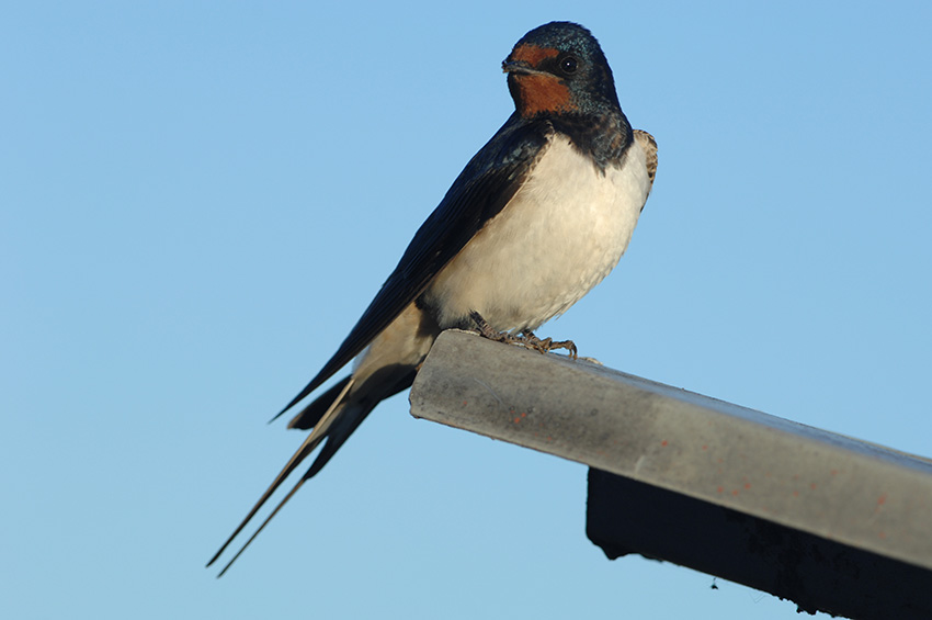 Swallow Identification