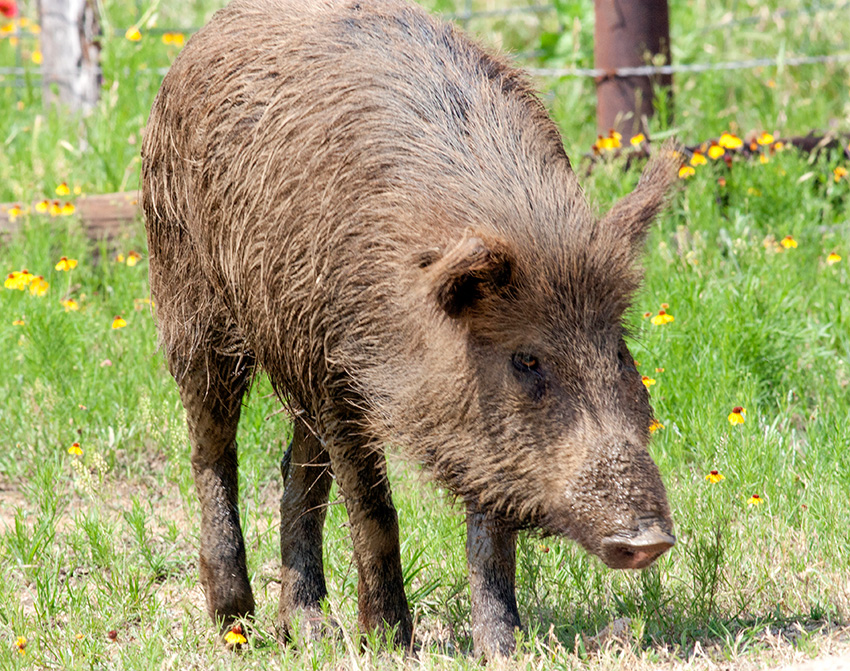 Wild Hog Identification