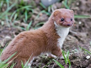 photo of a weasel