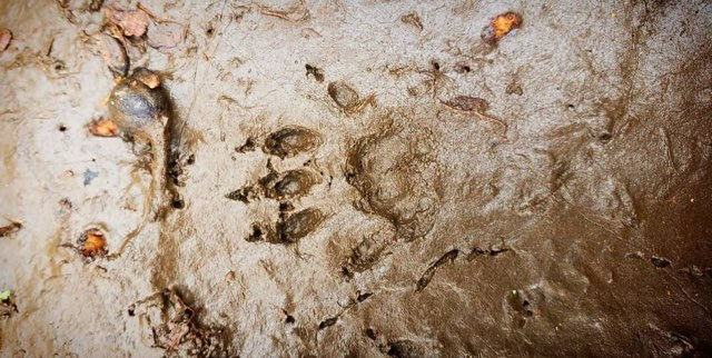 raccon track in mud