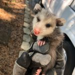 Baby Opossum Trapping