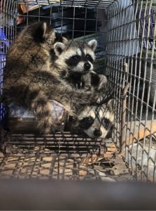 Three Raccoons in Trap