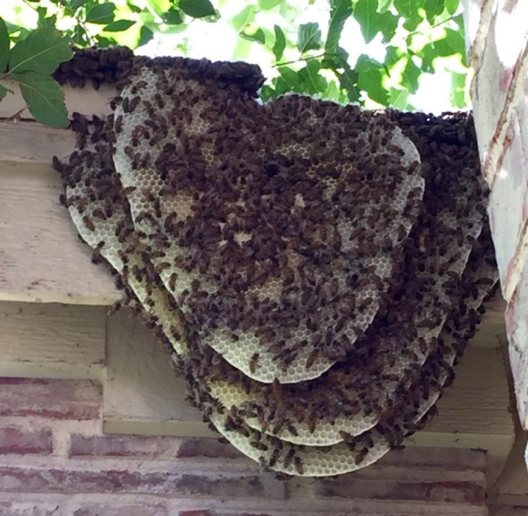 africanized bee hive on shingles and facia board cropped-min
