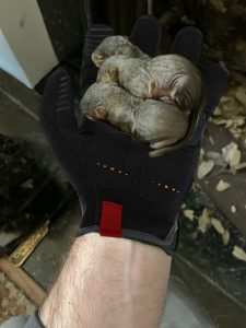 baby squirrels rescued from dallas fireplace